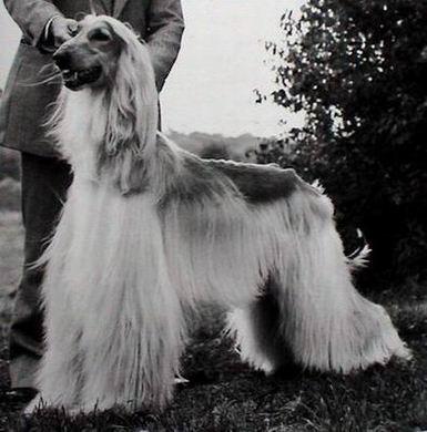 www.generation-afghan-hound.com)