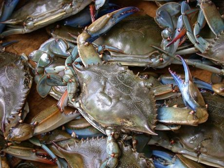 Chesapeake Bay blue crabs.  We used to catch these by the bucket in the creek behind my house