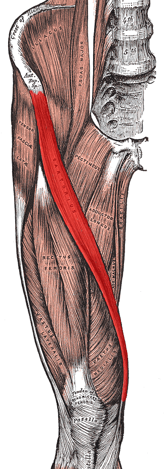 "the sartorius muscle – ""the tailor's muscle"" – the body's most, Human Body"